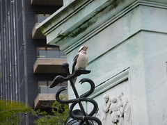 Kookaburra, Macquarie Street, Sydney (luckypenguin) Tags: bird sydney australia nsw newsouthwales kookaburra