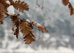 snow white queen (muharrem_bayraktar) Tags: winter white snow macro beyaz kar tamron90mm k yaprak