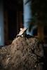 Garrobo (Mad Potoo) Tags: costarica iguana tambor iguane garrobo