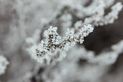 Hoarfrost (Pics by Abigail) Tags: blue winter white snow cold macro ice nature closeup frost branch dof hoarfrost frosty twig shallowdof tamron2875 tamron2875mmf28