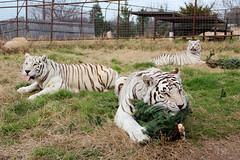 Akbar, Arusha and Kumar (International Exotic Animal Sanctuary) Tags: christmas white tree animal african tiger lion international exotic bengal sanctuary serval caracal capybara enrichment ieas