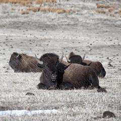 Winter Storm (dlbinnie) Tags: winter snow storm cold buffalo prairie bison herd sleet
