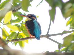 (Polotaro) Tags: bird nature pen olympus  zuiko  1      fzuiko300mmf45 epm2
