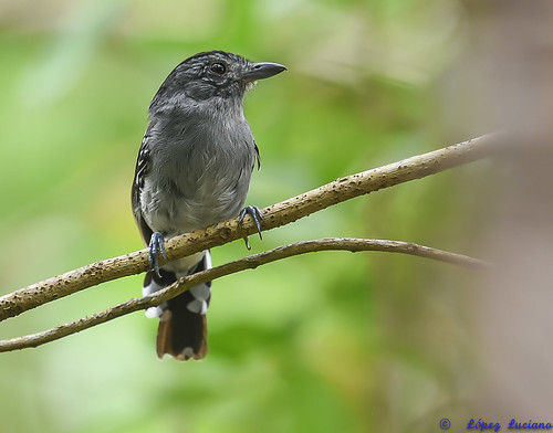 HORMIGUERO  NEGRUZCO O CENICIENTO MACHO.( Cercomacra Nigrescens.) BLACKISH ANTBIRD