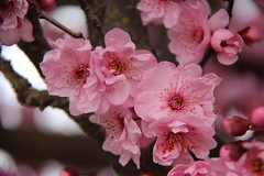 IMG_2256_Pink blossoms (sdttds) Tags: pink tree blossom plum pictureoftheday 43of366 366in2106 february122016