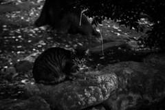 Today's Cat@2016-01-19 (masatsu) Tags: bw cat pentax cc100 catspotting mx1 thebiggestgroupwithonlycats
