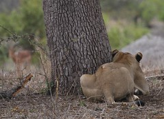 Picka-boo-I-see-you (Going Nowhere Slowly) Tags: southafrica wildlife hunting lion safari impala stalking krugernationalpark satara s100 canon100400mm canon7d