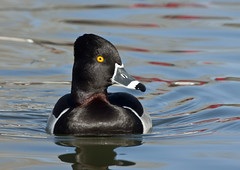 Ring-necked Duck -- Male (Aythya collaris); Albuquerque, NM, Tingley Beach Park [Lou Feltz] (deserttoad) Tags: park newmexico reflection bird nature water duck pond waterfowl behavior wildbird