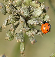 7 spotted Ladybird (Annette Rumbelow) Tags: 7 insects ladybird spotted coccinella macroshots 7punctata annetterumbelowwilson