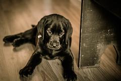 Sunbather (Ashley M. Brown) Tags: puppy lab labrador tennessee