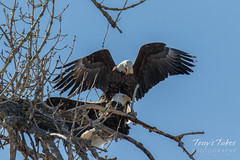 Bald Eagles copulating sequence - 18 of 28