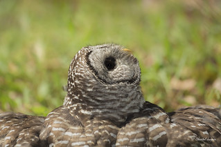 Amazing Northern Barred Owl- Strix varia-Chouette rayée