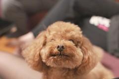 IMG_6617 (Tatsu.C) Tags: life dog holiday home 35mm canon hometown taiwan lifestyle sigma yilan 宜蘭 狗 老家 隨拍 doglife 回家 貴賓狗 s35 sigma35mm 紅貴賓 定焦鏡 canoneos550d