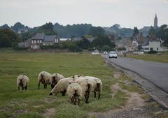 route submersible et moutons prs-sals (majolie46) Tags: village sheep dunes moutons prssals saltmeadows paysagemaritime