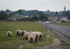 route submersible et moutons prés-salés (majolie46) Tags: village sheep dunes moutons préssalés saltmeadows paysagemaritime
