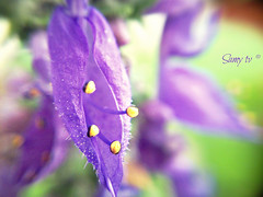 Doliprane (Colquhounia coccinea) (Samy TV(youtube.com/user/LiLsam972)+225.000views) Tags: world people flower macro yellow purple martinique