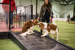 welsh-2 (Action Petz!) Tags: park uk dog dogs wales puppies south cardiff canine bark spaniel springer dogpark dogphotography welshspringer doggydaycare dogfun welshspaniel actionpetz