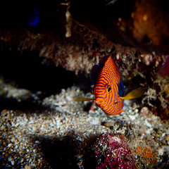FLA-160202-ND800-6924 (ferlopez) Tags: usa fish underwater angelfish marinelife makena mauihawaii pottersangelfish centropygepotteri