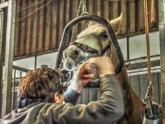 P1290139 (gill4kleuren - 11 ml views) Tags: sarah bezoek dentist haflinger tandarts arabier saampjes