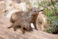 Mongoos mother with child (Cloudtail) Tags: animal mammal zoo klein jung young litter tier mongoose mungo banded wurf landau zebramanguste manguste sugetier