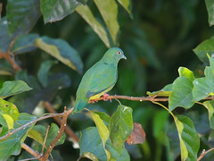 Blue-capped Fruit Dove (female) (Oleg Chernyshov) Tags: ptilinopusmonacha bluecappedfruitdove синешапочныйпёстрыйголубь