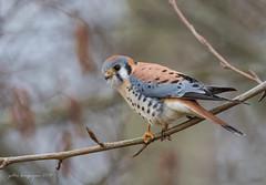 American Kestrel (Peter Bangayan) Tags: nature birds canon kent wildlife wa kestrel pacificnw americankrestel canon7d ef500mmf4lisusm