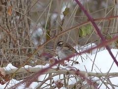 White-Throated Sparrow (jalebobo) Tags: whitethroatedsparrow bradleypalmer