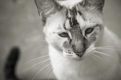 Cyndi Lou no. 15 (Michael Evans) Tags: blackandwhite bw pet monochrome animal cat blackwhite kitten feline kitty spot gato planet gata animalplanet mascota gatita gatito cyndilou