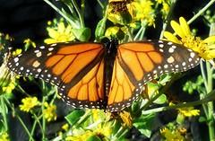 Constancia ( Montse;-))) Tags: fauna butterfly flora tqm islascanarias muaaaaa 16216 felizvuelo