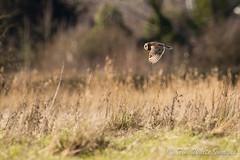 Short Eared Owl (TWHITE87) Tags: rumney great short wharf owl eared