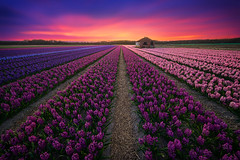 Rainbow Shed (albert dros) Tags: flowers sunset house netherlands dutch lines colours purple nederland symmetry hyacinths flowerseason albertdros