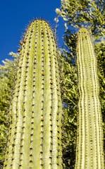 Backyard Cactus 046 (ljguitar) Tags: quail centuryplant suncitywest backyardcactus petemarilyn