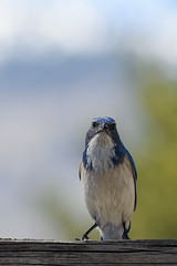 Ok i guess i'll pose (Aaron_Smith_Wolfe_Photography) Tags: blue mountains nevada sierra scrubjay carsoncity