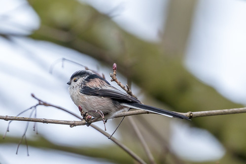 Long-tailed Tit at the Nottingham General Cemetery