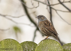 sing for a mate (blackfox wildlife and nature imaging) Tags: canon 350d dunnock rspb 400mmf56 burtonmerewetlands