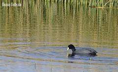 Pato en el Lago (hans.heinze) Tags: en lake titicaca lago bolivia el pato lapaz