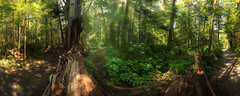 Big Red Cedar forest (dieLeuchtturms) Tags: panorama usa america forest washington rainforest unitedstates olympicpeninsula pacificnorthwest northamerica wa washingtonstate forks amerika wald pnw 5x2 regenwald bigcedartree temperaterainforest vereinigtestaaten nordamerika westernredcedar pazifischernordwesten riesenlebensbaum temperierterregenwald