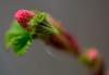 lente staat op punt van beginnen (www.petje-fotografie.nl) Tags: macro bloemen knoppen bloesemtuin