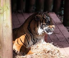 Tiger 5th March 2016 #3 (JDurston2009) Tags: zoo tiger devon sumatrantiger paignton paigntonzoo zoologicalgardens pantheratigrissumatrae paigntonzoologicalgardens
