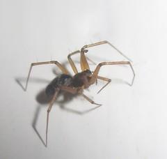 Tiny spider (John Steedman) Tags: uk greatbritain england london unitedkingdom spinne araa araigne grossbritannien     grandebretagne