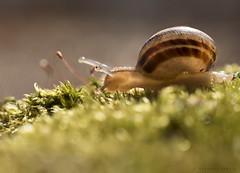 freshly emerged from a long winter's slumber (marianna armata) Tags: winter macro cute green wet animal happy moss spring bokeh vibrant small snail fresh luscious 2016 mariannaarmata