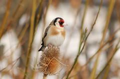 Chardonneret elegant  au parc de Bercy  Paris (frimoussec) Tags: paris bird nature vol elegant bercy parc oiseau chant plume chardonneret