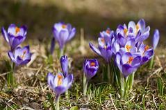 krokus - crocus (Micha Stolarski) Tags: flower poland polska crocus dolina tatry krokus kwiat chochoowska