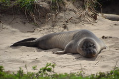 Elephant Seal at Ao Nuevo State Park, California (elwetritsche) Tags: california santacruz highway1 anonuevo elephantseal weaner aonuevostatepark