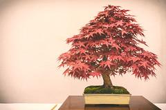 bonsai acero rosso (Loppez) Tags: zen bonsai rosso acero