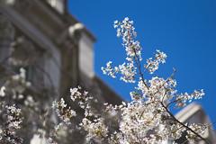IMG_9369 (elenafrancesz) Tags: uw cherry blossoms wordless
