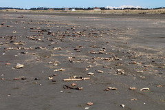 Crab Carnage (Mk) Tags: road coast crab northbeach molt jetsam phototour sr109 goingtotaholah lovedatolcharactormap