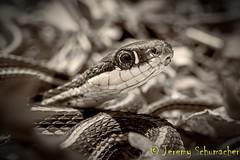 Eastern Ribbon Snake *State Threatened* (Jeremy Schumacher) Tags: macro nature animal illinois nikon state reptile snake wildlife ribbon serpent 40mm eastern thamnophis threatened sauritus d5000