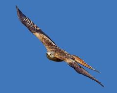 Red Kite ( milvus milvus) - Staring a hole through you !! (Mid Glam Sam1) Tags: kite inflight intense raptor stare birdofprey midwales redkite uplands mivusmilvus