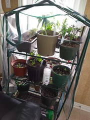 Garden Growing! (yummysmellsca) Tags: food fish black vegetables garden dill lemon yum purple tomatoes indigo mint greenhouse rosemary when photoaday basil even peppers tabasco seedlings better homegrown balm nasturtium monkeyface sundaysupper 2016 photochallenge richters favouritefood growyourown my photo365 eatfoodphotos sundaysupperfam